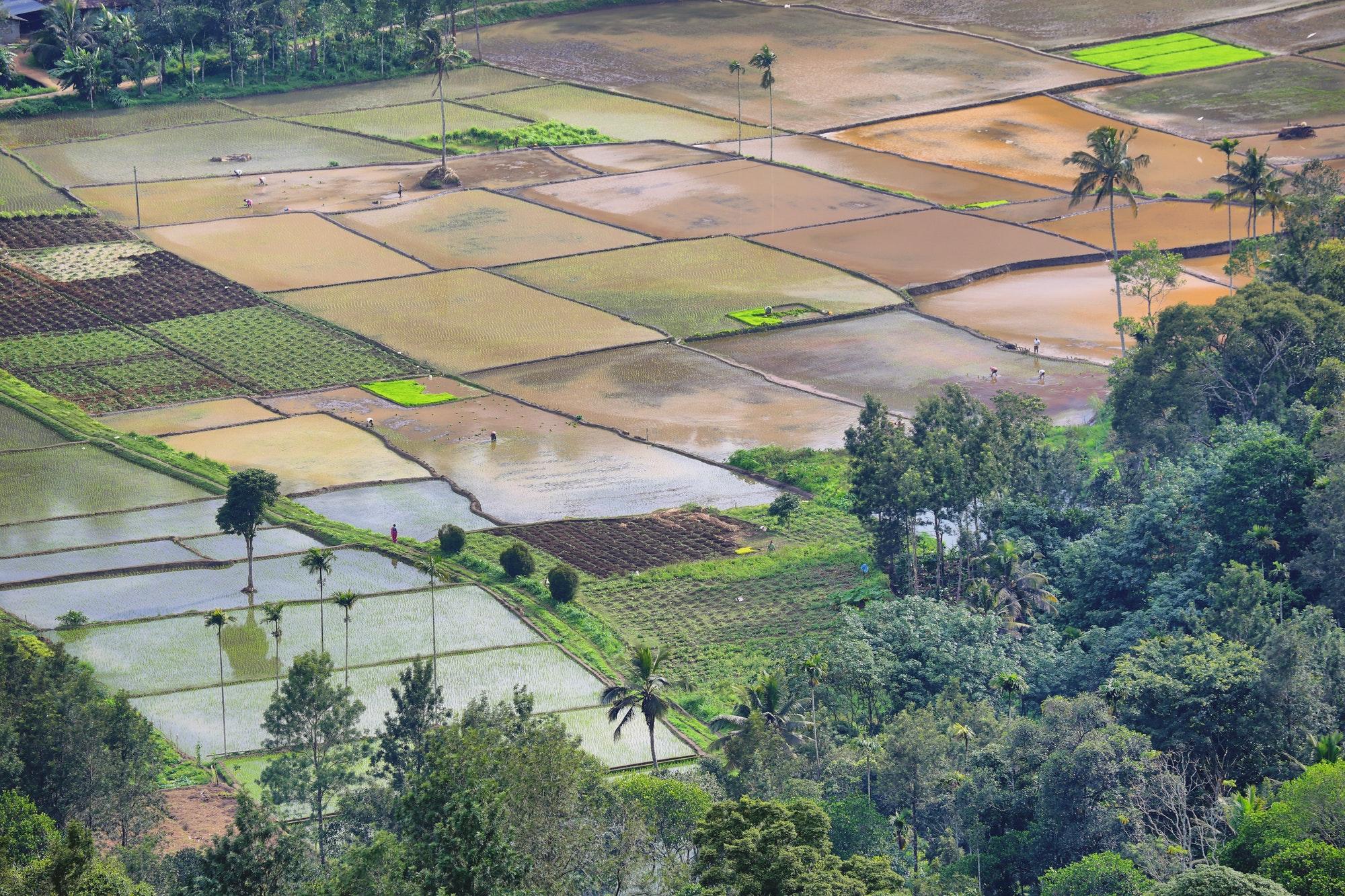 Flooded paddy Fields at Munnar, Kerala, India.